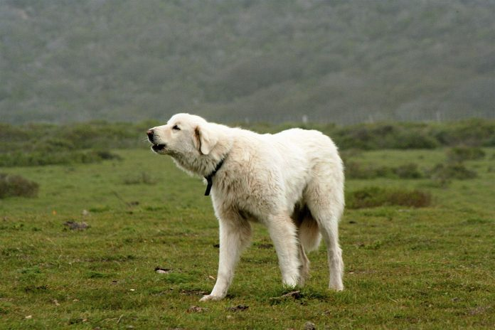 History of the Turkish Guardian Dog The Akbash